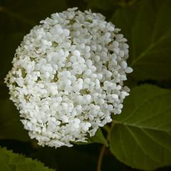 blossom(0.0), hydrangea serrata(0.0), lilac(0.0), hydrangea(1.0), shrub(1.0), flower(1.0), leaf(1.0), guelder rose(1.0), plant(1.0), flora(1.0),
