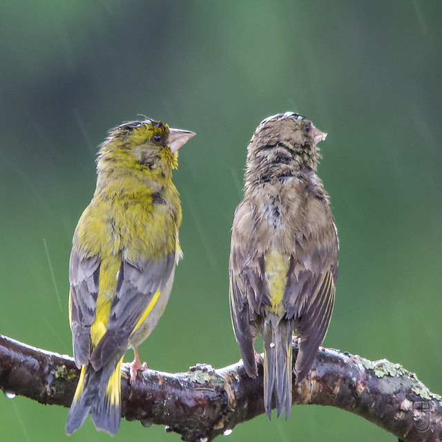 Wet male & female European Greenfinches (Carduelis chloris)-5883