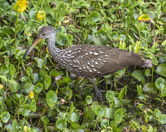 Limpkin walking on water plants