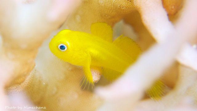 今日もカワイイ、アカネダルマハゼ幼魚
