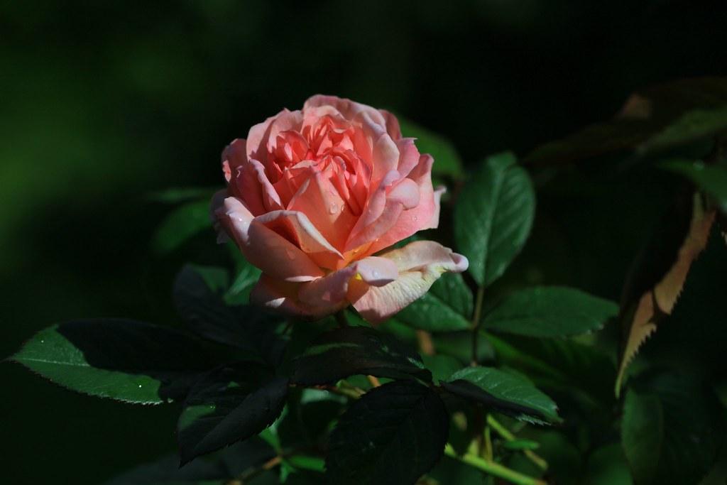 Hồng trong vườn nhà mình