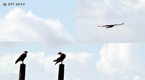 bird texas birdofprey caracara caracaracheriway northerncrestedcaracara zeesstof