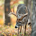 Whitetail Buck Foraging in Autumn by www.matthansenphotography.com
