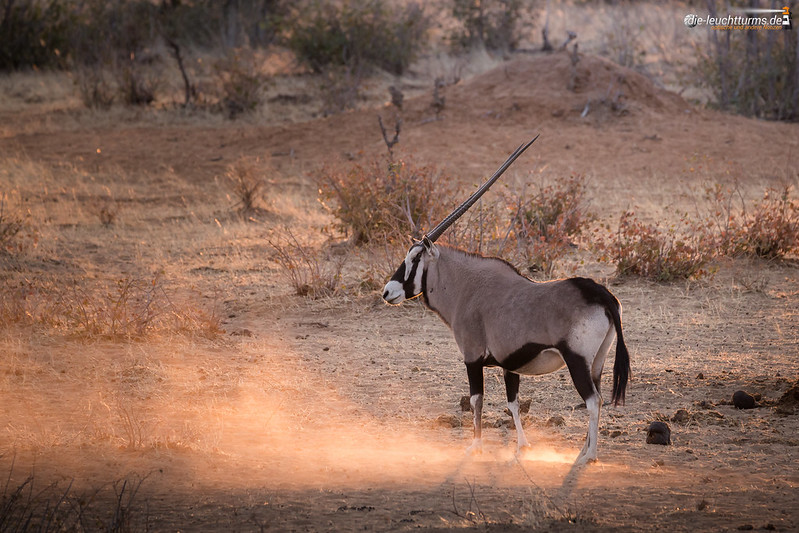 Gemsbok in evening sun
