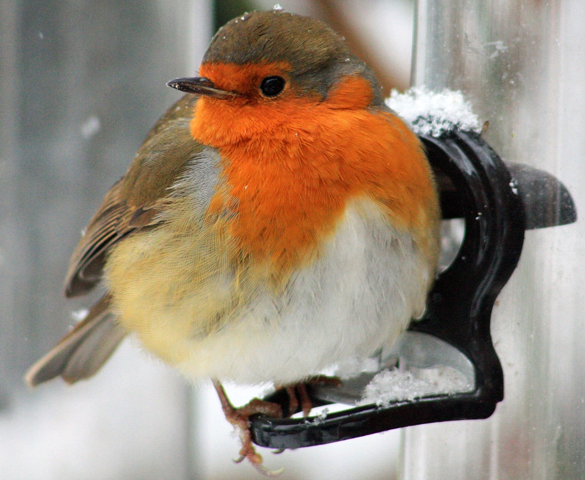 Robin. Credit Si Griffiths