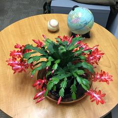 blooming christmas cactus