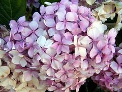 blossom(0.0), purple(0.0), lilac(1.0), flower(1.0), plant(1.0), lilac(1.0), flora(1.0), pink(1.0), petal(1.0),