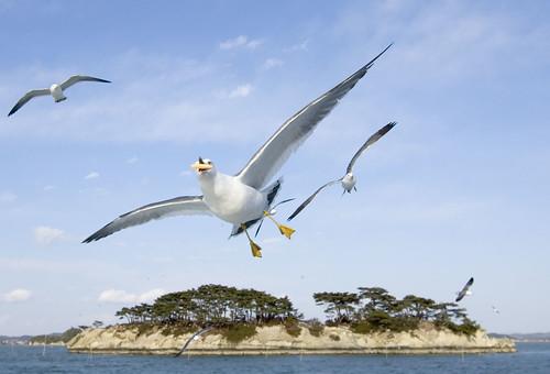 Matsushima seagulls