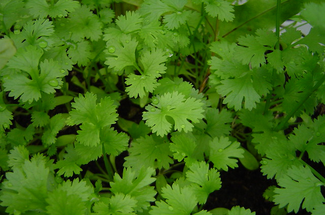 Coriander in a close-up