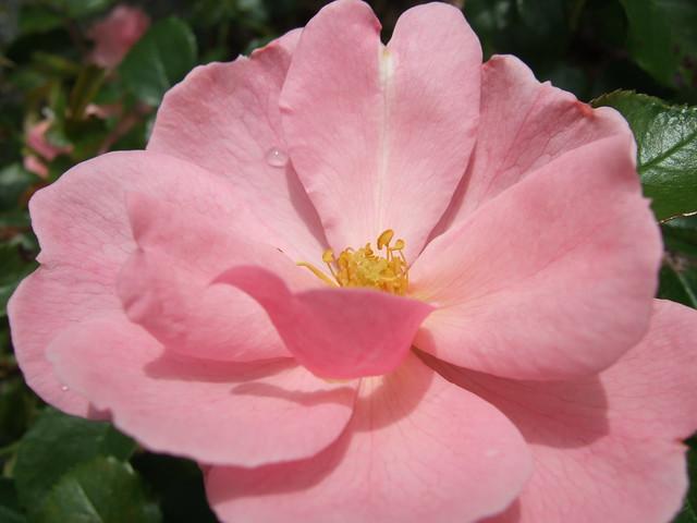 Pink Rose & Water Droplet