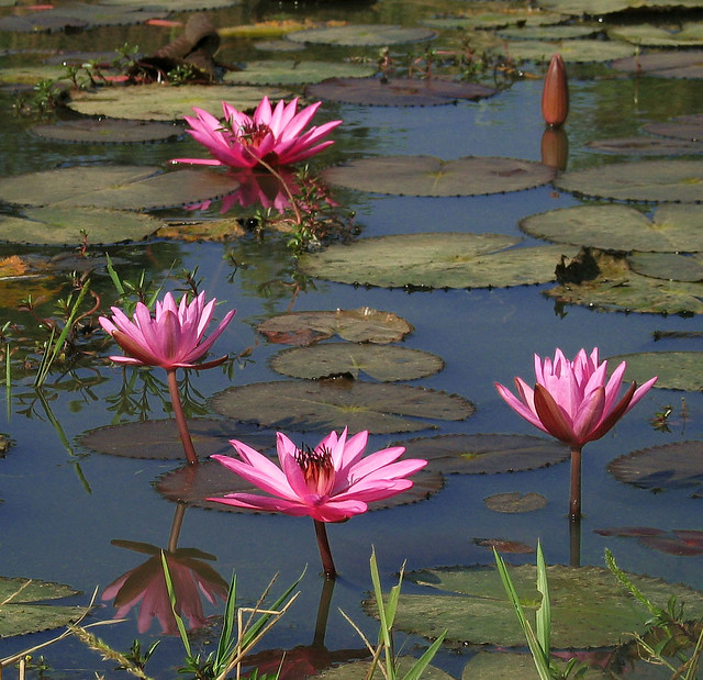Lotus Flower Pond Thailand Asia | Flickr - Photo Sharing!