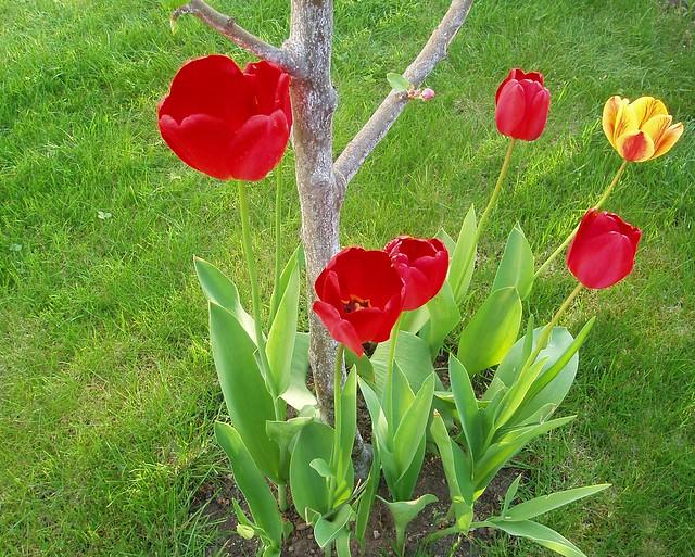 Tulipany | Tulipany + pobielony pień jabłonki + trawa = kolo ...