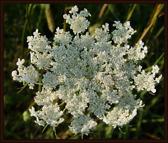 yarrow(0.0), english lavender(0.0), lilac(0.0), meadowsweet(0.0), caraway(0.0), apiales(1.0), shrub(1.0), flower(1.0), cow parsley(1.0), plant(1.0), herb(1.0), anthriscus(1.0), flora(1.0), produce(1.0),