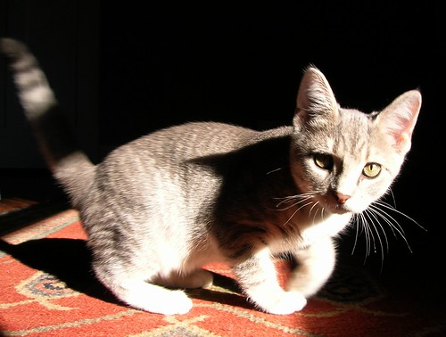 kitten shots