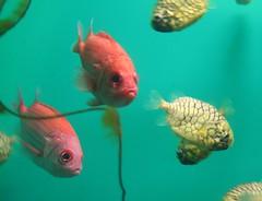 fish, organism, marine biology, koi, goldfish, fauna, underwater,