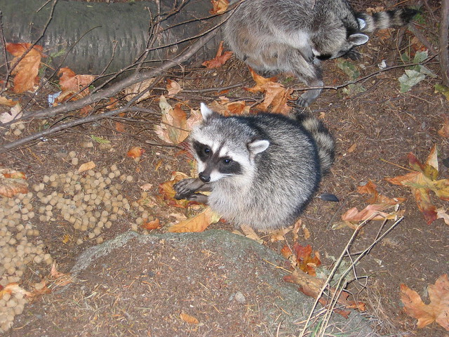 cute raccoons with rabies | Flickr - Photo Sharing! Raccoon With Rabies