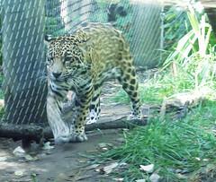 snow leopard(0.0), tiger(0.0), jungle(0.0), ocelot(0.0), wildlife(0.0), animal(1.0), big cats(1.0), leopard(1.0), zoo(1.0), mammal(1.0), jaguar(1.0), fauna(1.0),