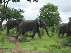 adventure(0.0), mahout(0.0), animal(1.0), indian elephant(1.0), elephant(1.0), elephants and mammoths(1.0), african elephant(1.0), fauna(1.0), jungle(1.0), safari(1.0), wildlife(1.0),