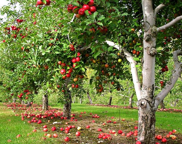 orchard row   Flickr - Photo Sharing!