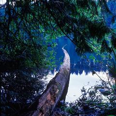Fallen Tree at Battle Lake, OR