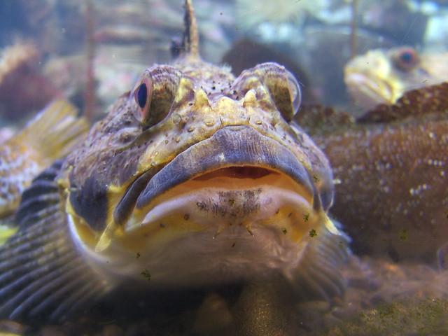 Bug eyed fish flickr photo sharing for One eyed fish