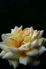 wet yellow rose