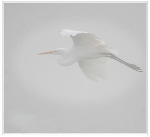 topf25 fog washington highkey egret birdwatching whiteegret duane ridgefield clarkcounty saywalic experiencewa ridgefieldwildliferefuge ridgefieldnationalwildliferefuge wildlifeviewingsites dpslessismore