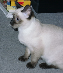animal, siamese, small to medium-sized cats, pet, javanese, ragdoll, thai, tonkinese, cat, burmese, carnivoran, whiskers, balinese, birman,