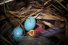 nest, bird nest, egg, bird,