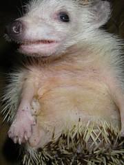 animal, domesticated hedgehog, mouse, mammal, fauna, close-up,