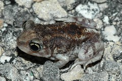 Hurter's Spadefoot - Photo (c) Zack, some rights reserved (CC BY-NC-SA)