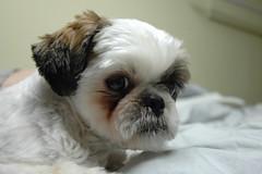 dog breed, animal, puppy, dog, pet, lhasa apso, chinese imperial dog, pekingese, shih tzu, carnivoran,