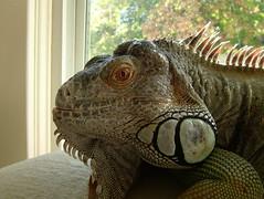 reptile, lizard, fauna, close-up, iguana, scaled reptile,