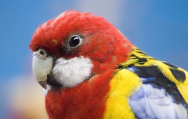 Rosella Woodland Park Zoo