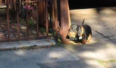 Sausage Dog in Newtown