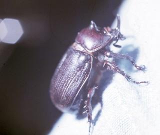 Rhino Beetle- (Dung Beetle)