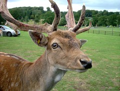 Longleat deer