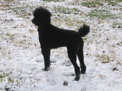lagotto romagnolo(0.0), portuguese water dog(0.0), barbet(0.0), miniature poodle(1.0), standard poodle(1.0), dog breed(1.0), animal(1.0), dog(1.0), schnoodle(1.0), pumi(1.0), pet(1.0), mammal(1.0), irish water spaniel(1.0), poodle(1.0), spanish water dog(1.0),