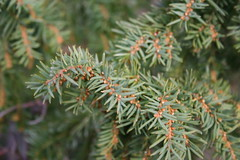 larch, evergreen, tree, flora, spruce,