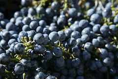 blackberry(0.0), shrub(0.0), plant(0.0), sultana(0.0), damson(0.0), huckleberry(0.0), food(0.0), bilberry(0.0), zante currant(0.0), berry(1.0), grape(1.0), produce(1.0), chokeberry(1.0), fruit(1.0),