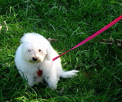 puppy(0.0), lagotto romagnolo(0.0), west highland white terrier(0.0), bichon frisã©(1.0), dog breed(1.0), animal(1.0), dog(1.0), pet(1.0), coton de tulear(1.0), mammal(1.0), havanese(1.0), old english sheepdog(1.0), bichon(1.0), maltese(1.0), bolognese(1.0),