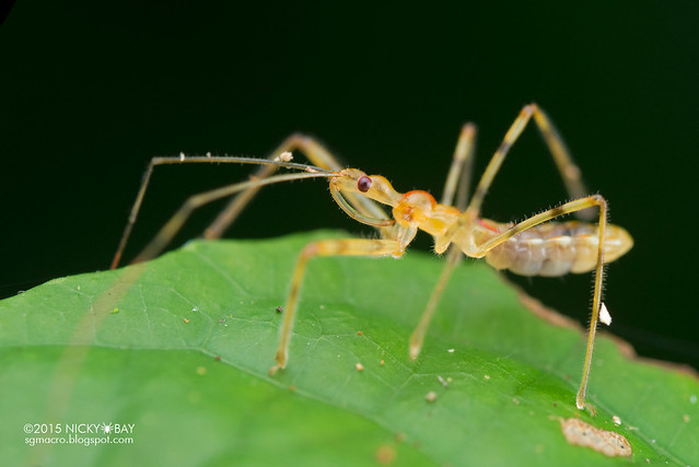 Assassin bug nymph (Reduviidae) - DSC_5337