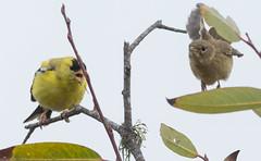 American Goldfinch (Spinus tristis) and Marsh Wren (Cistothorus palustris)