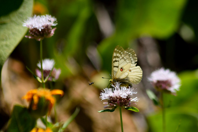 Butterfly on Mint