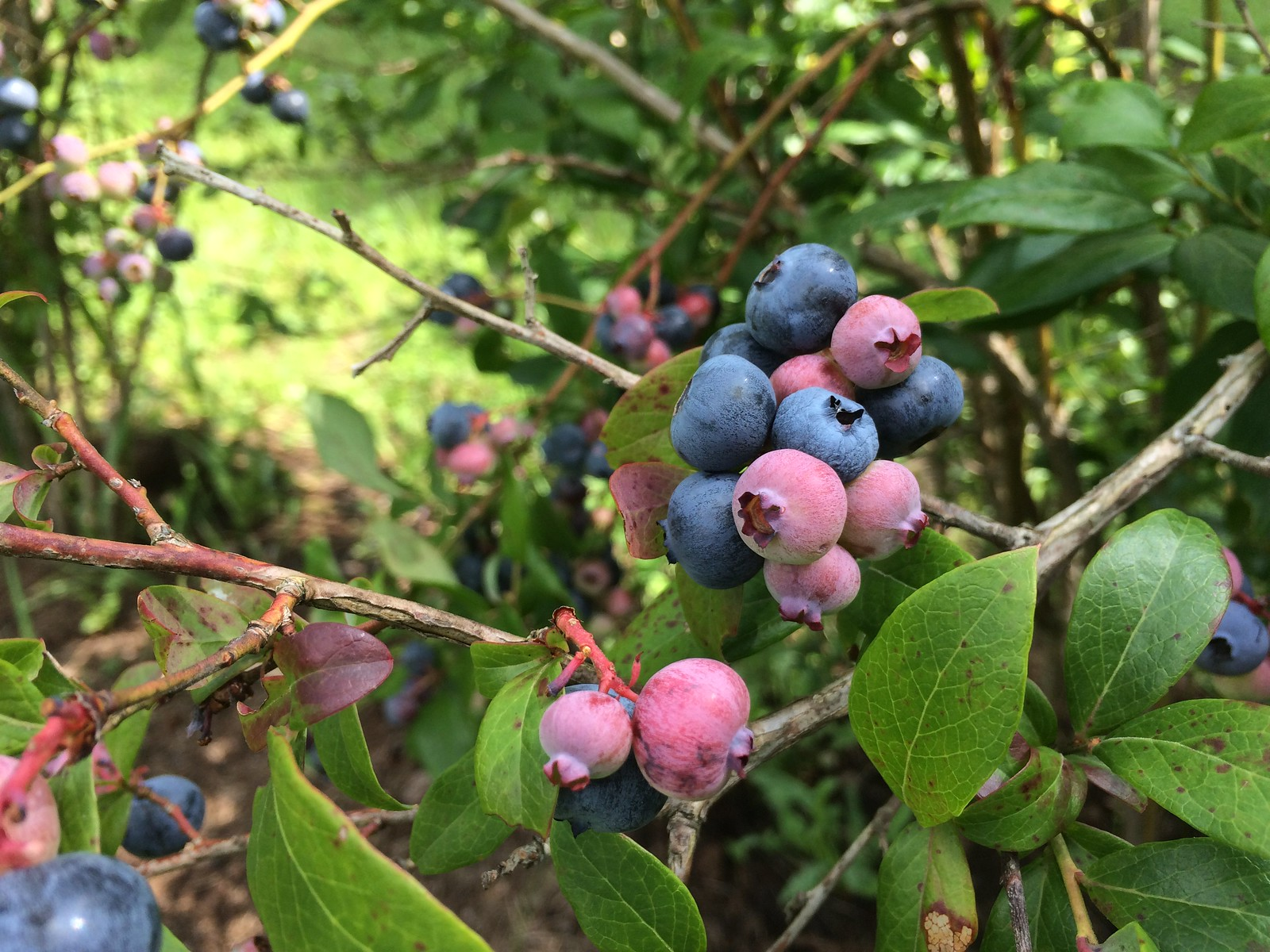 blueberry Ridge Farm
