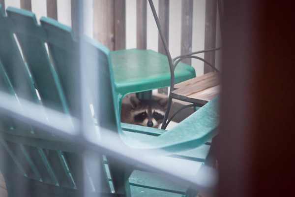 raccoon makes his own shade on a balcony