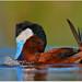 Ruddy Duck by BN Singh