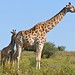 Giraffes (Giraffa camelopardalis) female and young ...