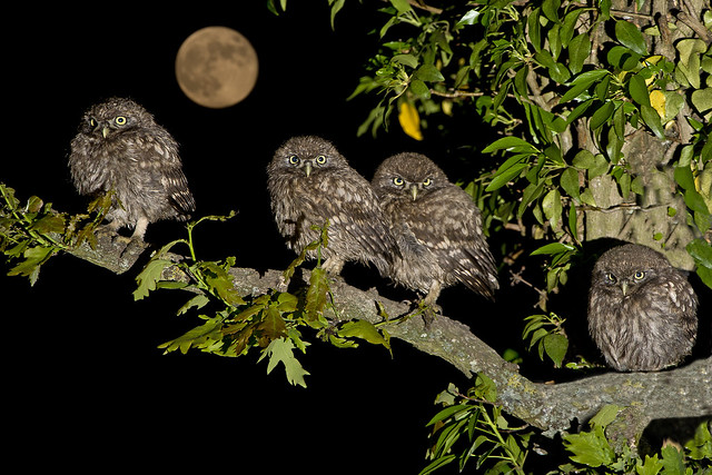 Family of Little Owl chicks (Athene noctua)
