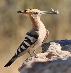 jay(0.0), animal(1.0), wing(1.0), fauna(1.0), woodpecker(1.0), coraciiformes(1.0), beak(1.0), bird(1.0), wildlife(1.0),